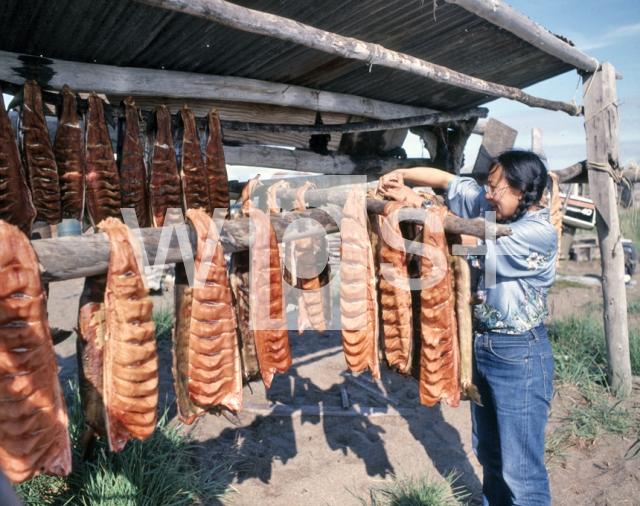 |鮭の干物を作るイヌイット族の女性 鮭の干物を作るイヌイット族の女性 作品番号: A6643 カ
