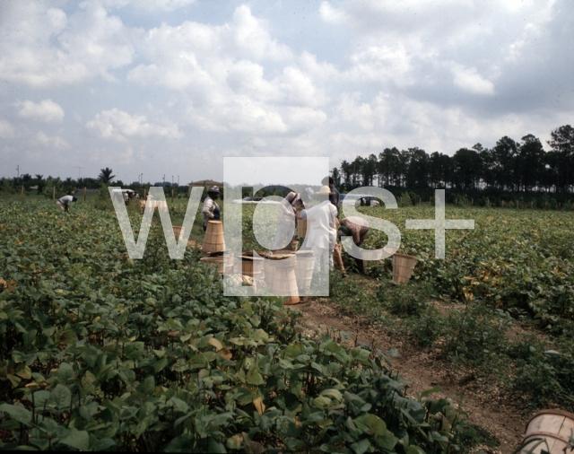 |ハイチ移民による紫インゲンの収穫 ハイチ移民による紫インゲンの収穫 - 地理 | wps+(ワ